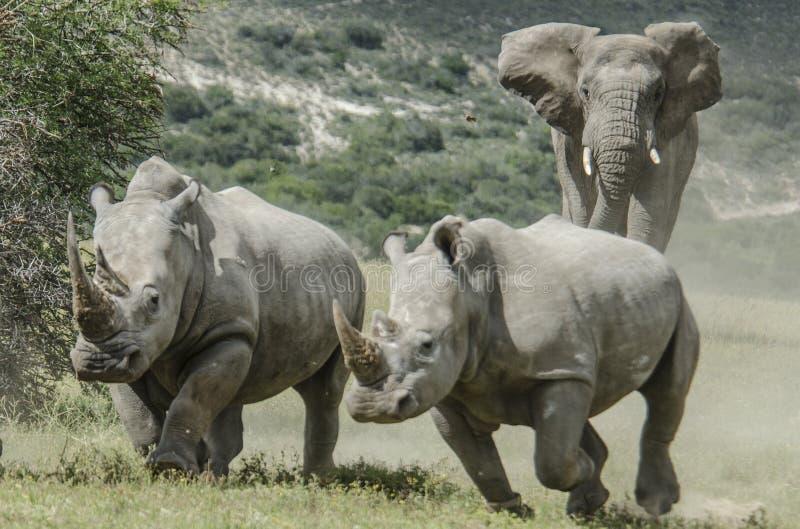 Rinocerontes de carregamento do elefante em nosso safari em África imagem de stock