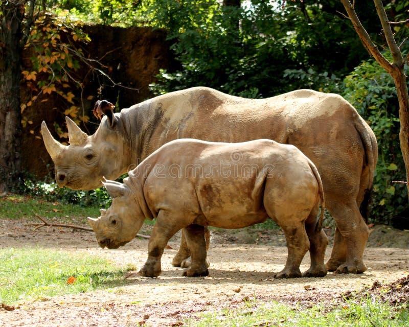 Rinocerontes de la mamá y del bebé fotografía de archivo