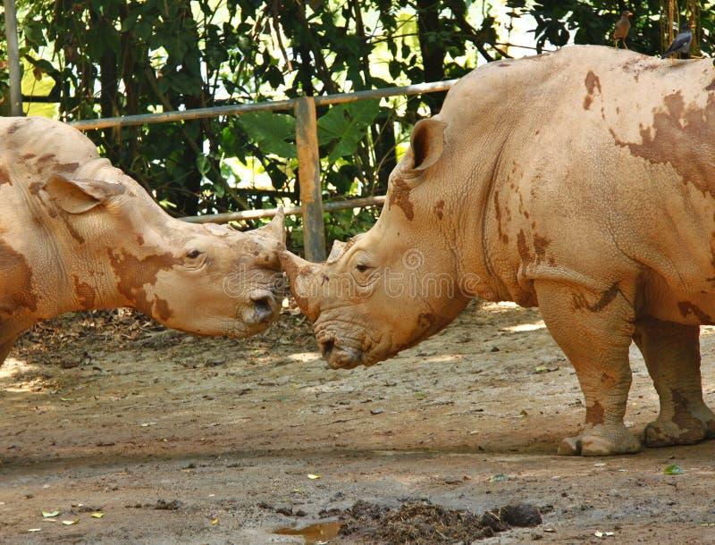 Rinocerontes do cumprimento imagens de stock royalty free