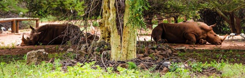 Rinocerontes en peligro imágenes de archivo libres de regalías
