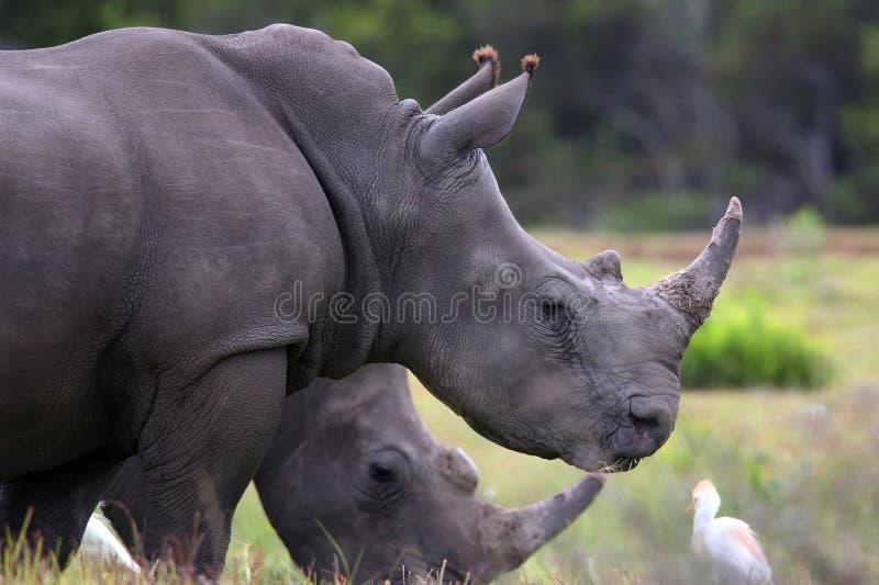 Rinocerontes y garcetas blancos imagenes de archivo