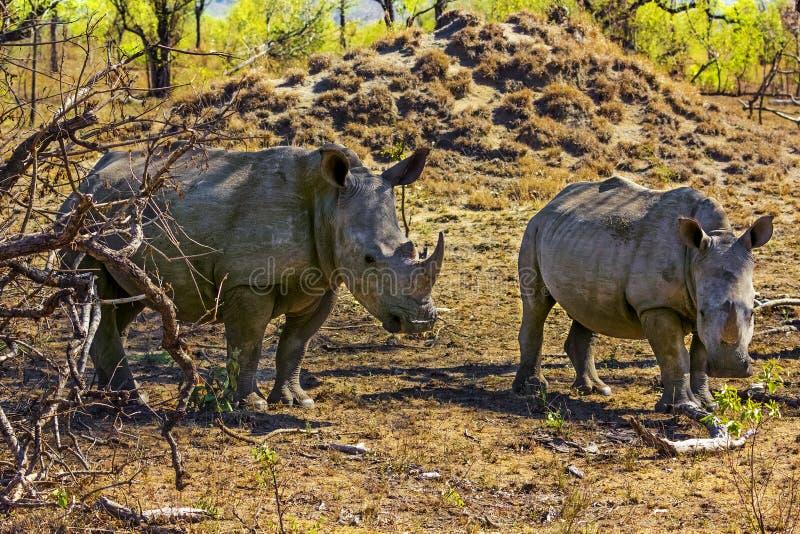 Rinoceronti bianchi, parco nazionale di Kruger fotografia stock libera da diritti