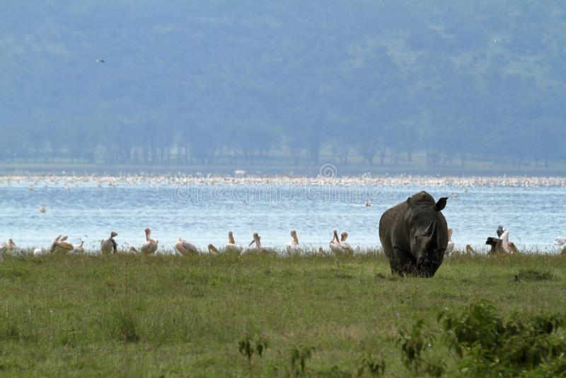 Rinoceronti in lago Nakuru National Park nel Kenya fotografie stock