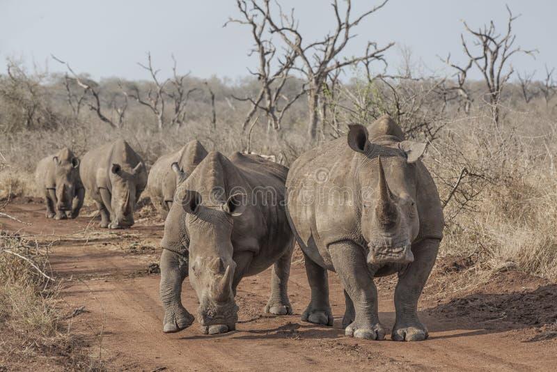 Rinoceronti sulla strada immagini stock libere da diritti