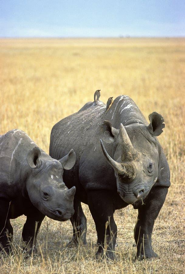 Rinoceros stock afbeelding