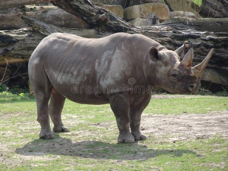 Rinoceros in de dierentuin royalty-vrije stock fotografie