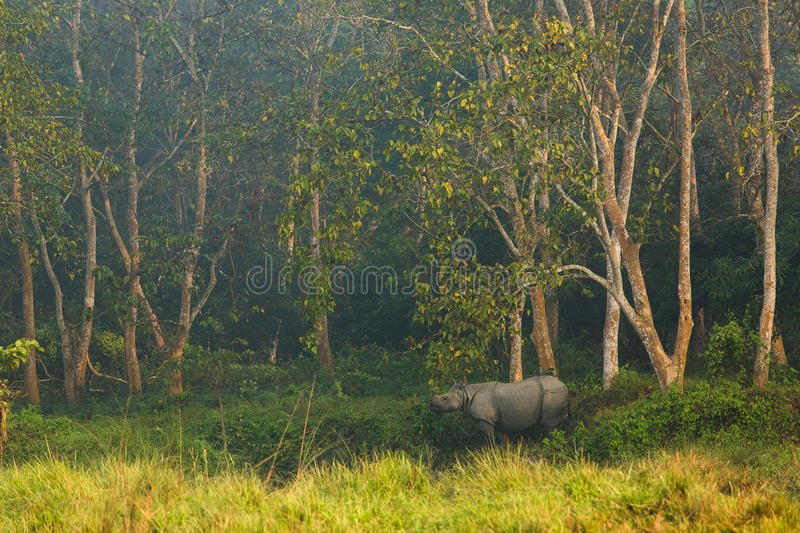Rinoceros in de wildernis, het Nationale Park Nepal van Chitwan royalty-vrije stock foto's