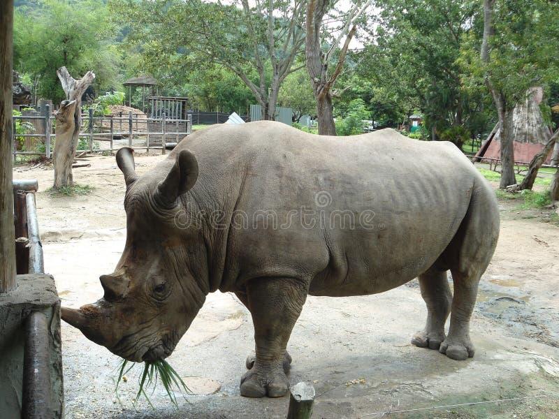 Rinoceros die gras eten royalty-vrije stock afbeeldingen