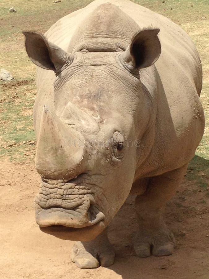 Rinoceros die Hello zeggen aan me royalty-vrije stock fotografie