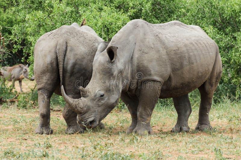 Rinoceros die van wat groen gras genieten stock foto's