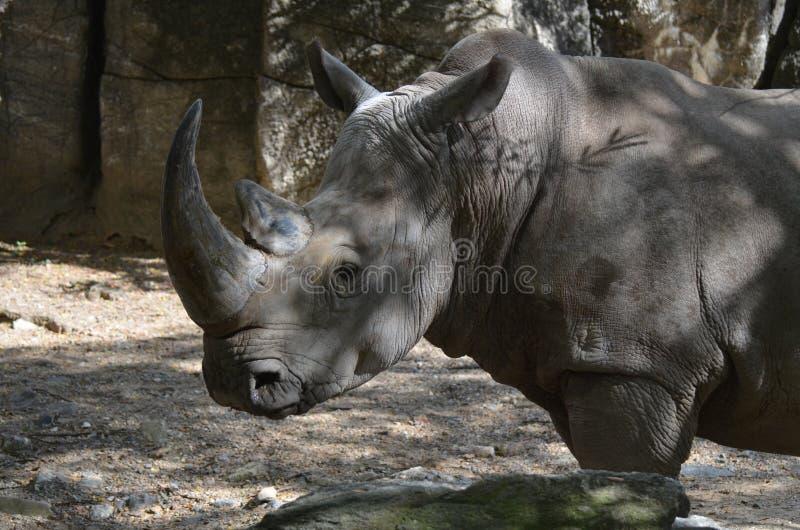 Rinoceros die zich in de Schaduw op een de Zomerdag bevinden royalty-vrije stock foto's