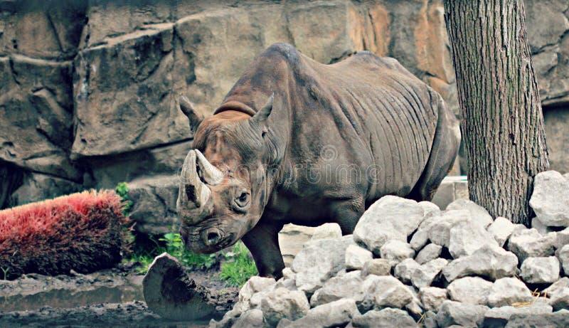 Rinoceros in dierentuin royalty-vrije stock foto