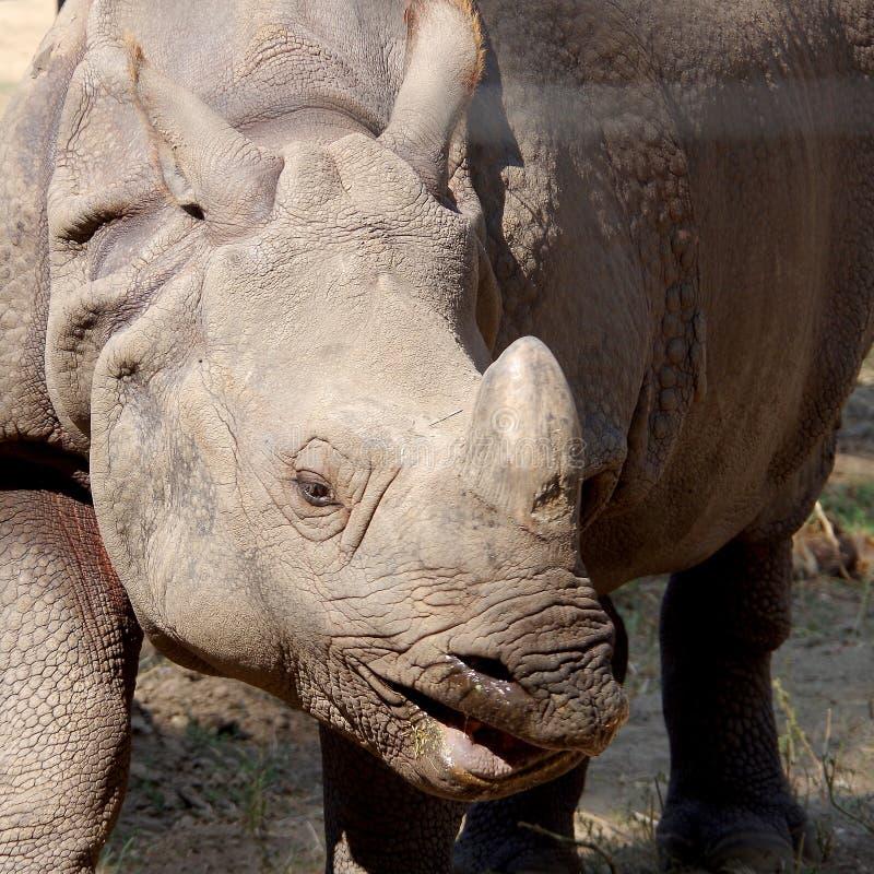 Rinoceros in gevangenschap stock fotografie