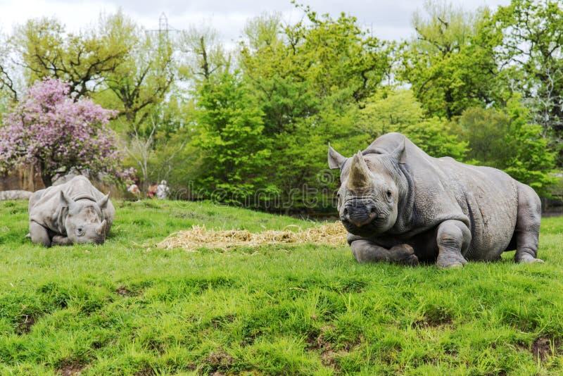 Rinoceros in gevangenschap stock foto