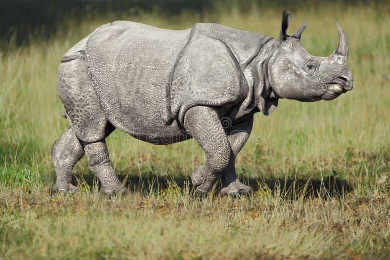 Rinoceros in gras stock foto's