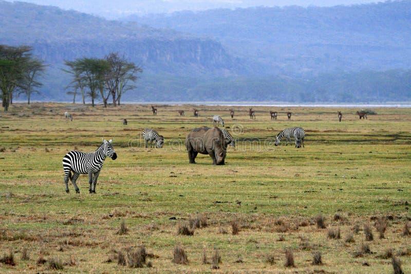 Rinoceros in het nationale park van Tanzania stock afbeelding
