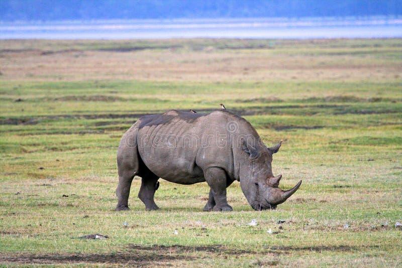 Rinoceros in het nationale park van Tanzania stock foto's