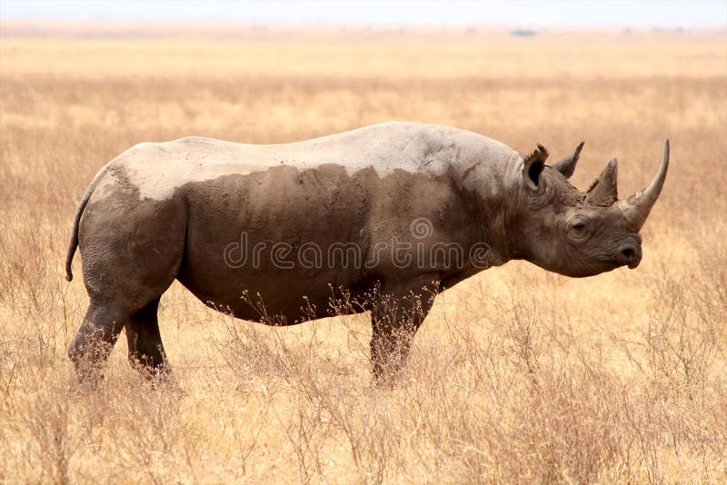 Rinoceros in het nationale park van Tanzania royalty-vrije stock foto