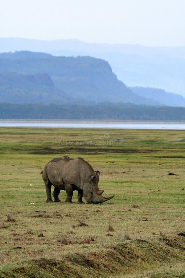 Rinoceros in het nationale park van Tanzania royalty-vrije stock afbeelding
