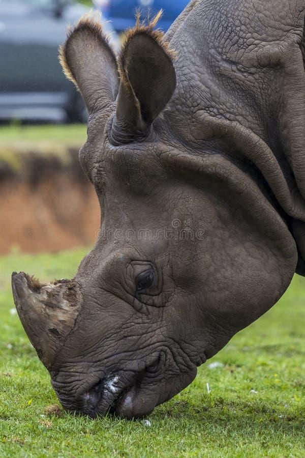 Rinoceros Hoofd dichte omhooggaand bij de dierentuin safaripark van het de West- van binnenlanden stock afbeelding