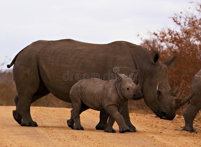 Rinoceros met baby stock foto's