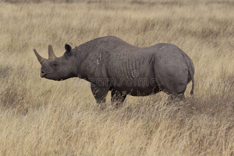 Rinoceros in Ngorongoro-Krater met wond op been stock afbeeldingen