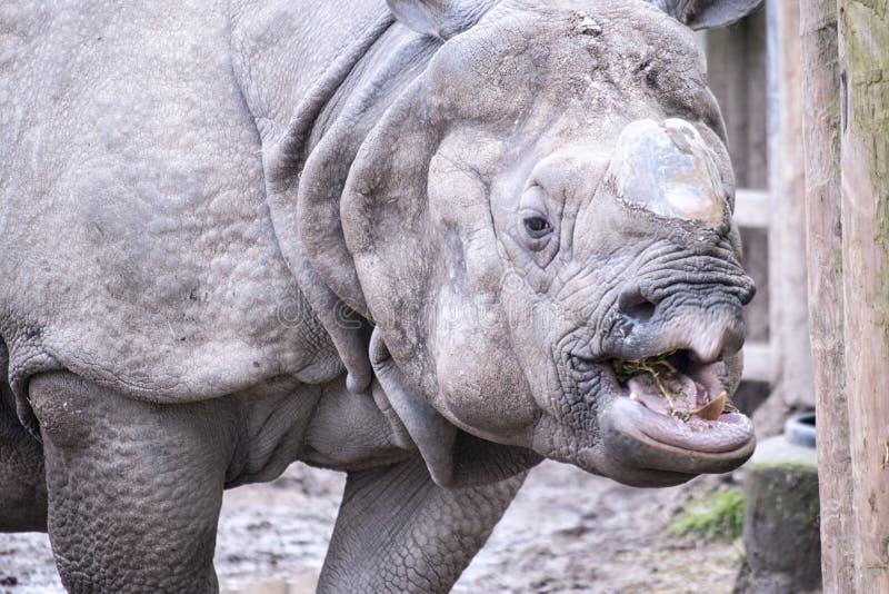 Rinoceros ontbrekende Hoorn royalty-vrije stock afbeelding