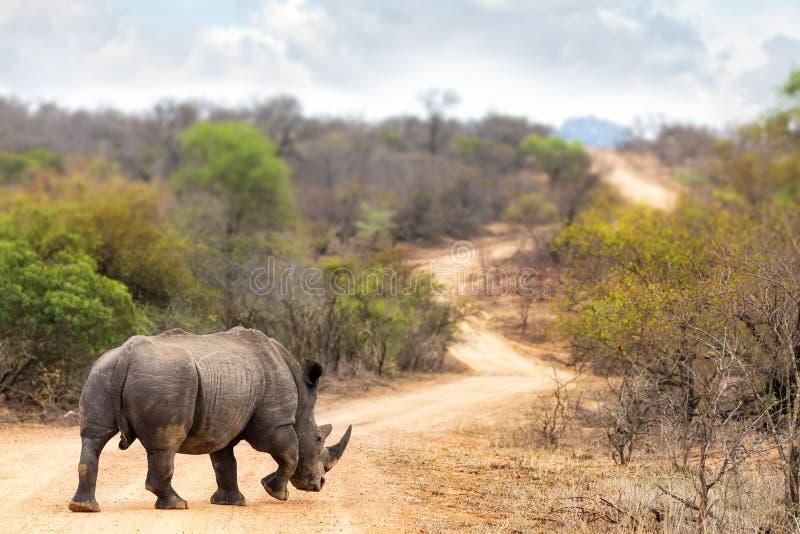 Rinoceros op de Weg stock foto