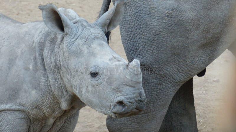 Rinocerosbaby stock foto's