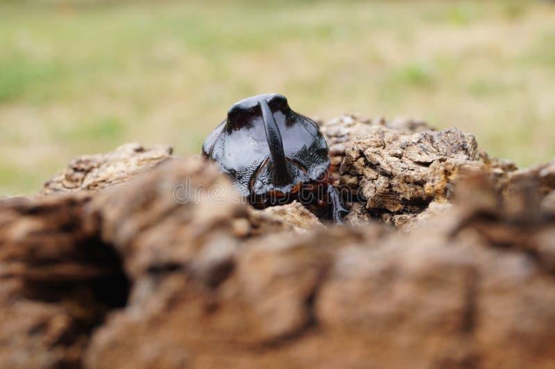 Rinoceroskever - vooraanzicht stock foto's