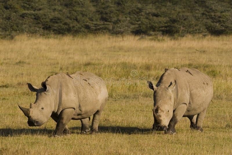 Rinocerossen stock foto's