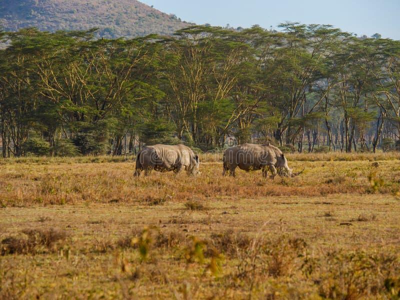 Rinocerossen in Masai Mara-park, Kenia royalty-vrije stock afbeelding