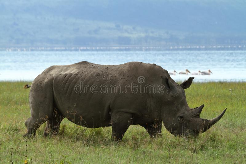 Rinocerossen in Meer Nakuru National Park in Kenia stock fotografie