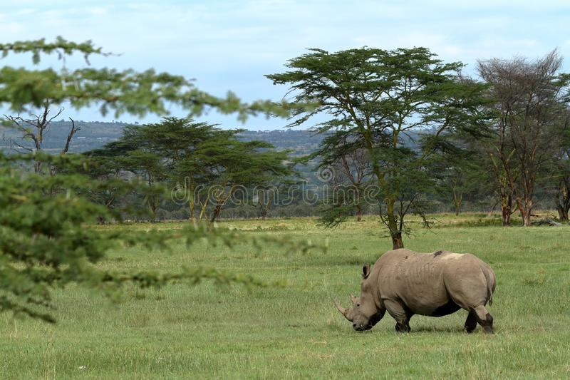 Rinocerossen in Meer Nakuru National Park in Kenia stock afbeelding