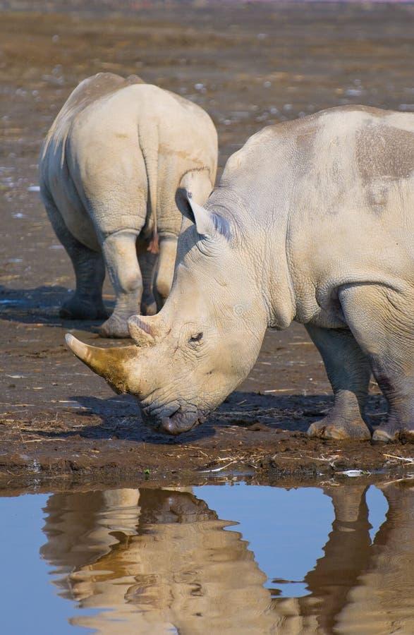 Rinocerossen in meernakuru, Kenia stock foto's