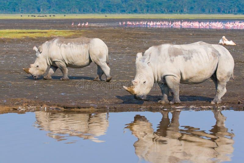 Rinocerossen in meernakuru, Kenia stock afbeeldingen