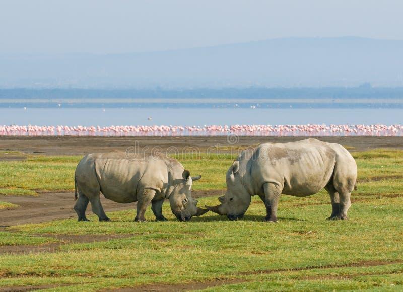Rinocerossen in meernakuru, Kenia royalty-vrije stock foto