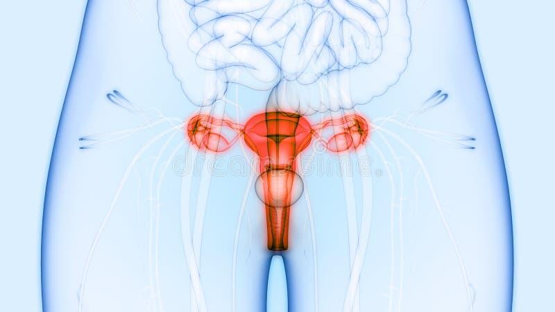 Rins do sistema reprodutivo fêmea e do sistema urinário com anatomia da bexiga ilustração do vetor
