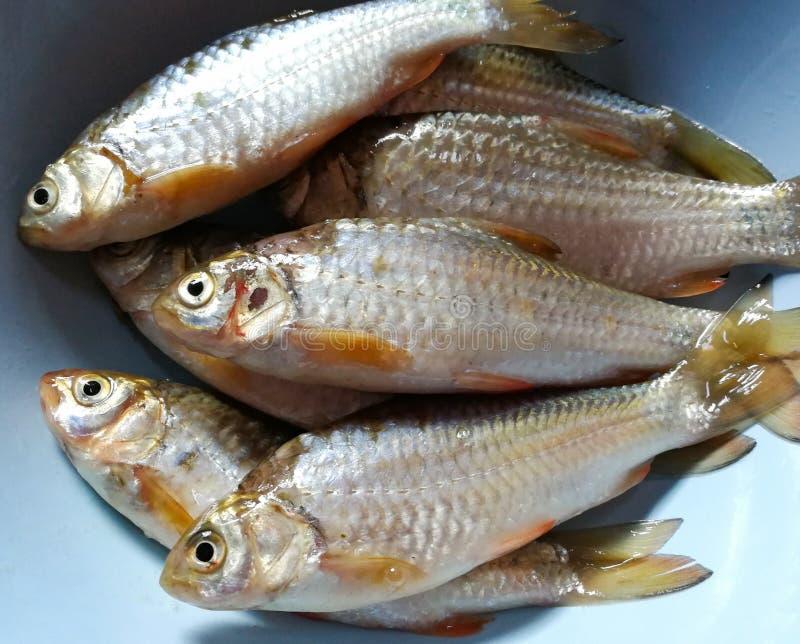 Rio Ásia dos peixes imagem de stock royalty free