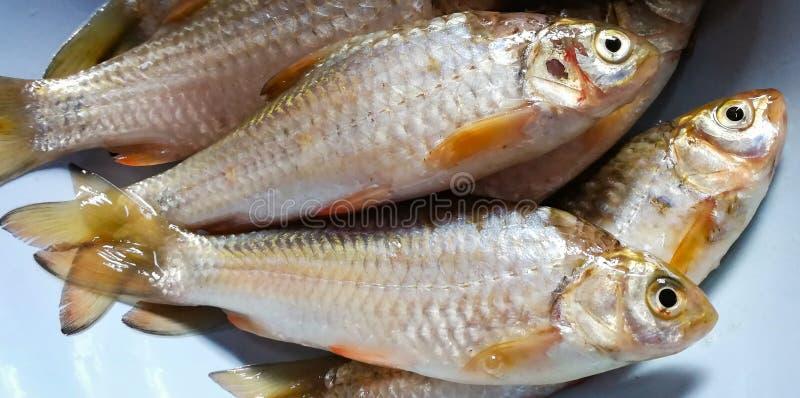 Rio Ásia dos peixes fotos de stock royalty free