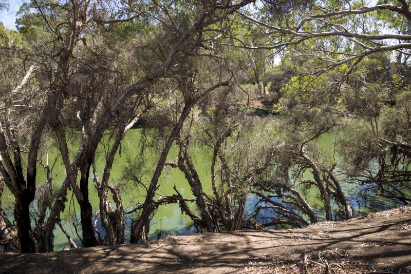 Rio da cisne que hidding atrás da opinião de árvores em Maali Bridge Park, cisne foto de stock