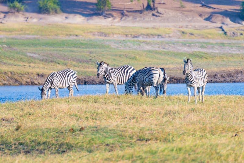 Rio de Chobe do cruzamento de zebras Luz morna de incandescência do por do sol Safari dos animais selvagens nos parques nacionais imagem de stock royalty free