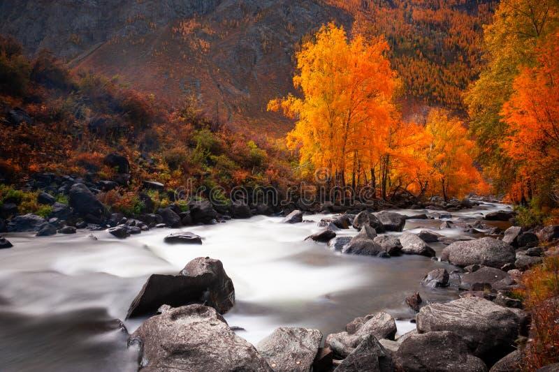 Rio e árvores amarelas na floresta do outono em Altai, Sibéria, Russi foto de stock