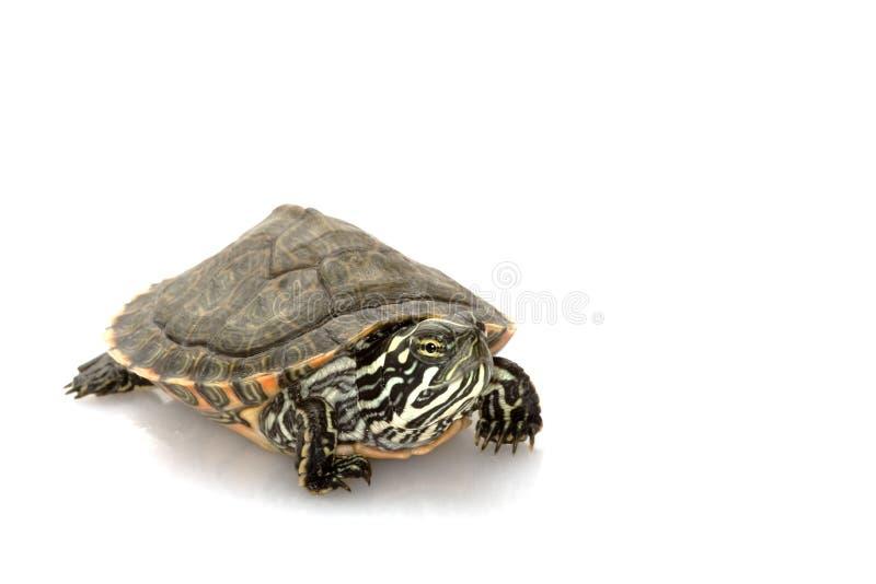 Download Rio Grande stock photo. Image of nature, turtle, tortoise - 10203040