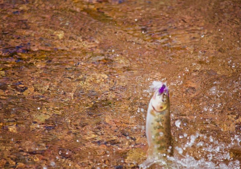 Rio Grande Cutthroat Trout Jumps van Water royalty-vrije stock foto's