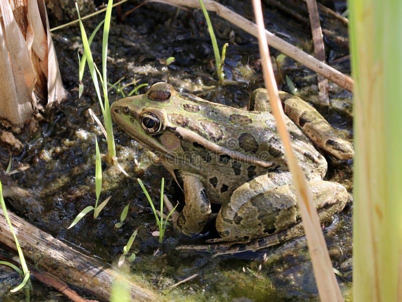 Rio Grande Leopard Frog imágenes de archivo libres de regalías