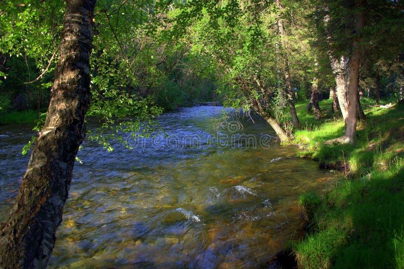 Rio limpo e turbulento da montanha que corre através da floresta, ao longo das árvores altas na costa Altai, Sib?ria, R?ssia fotografia de stock royalty free