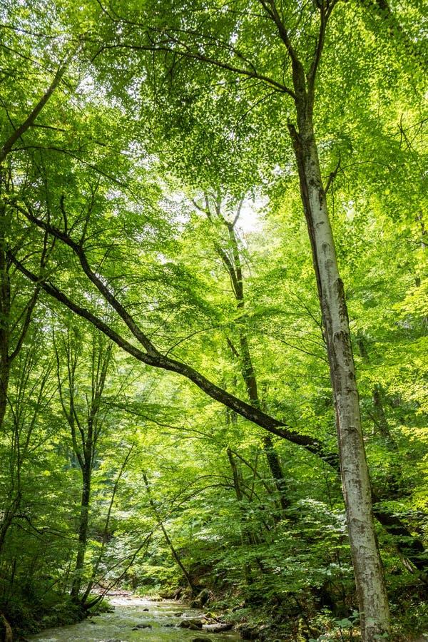 Rio no verão das árvores de Forest Crimean Peninsula Sunny Green imagens de stock