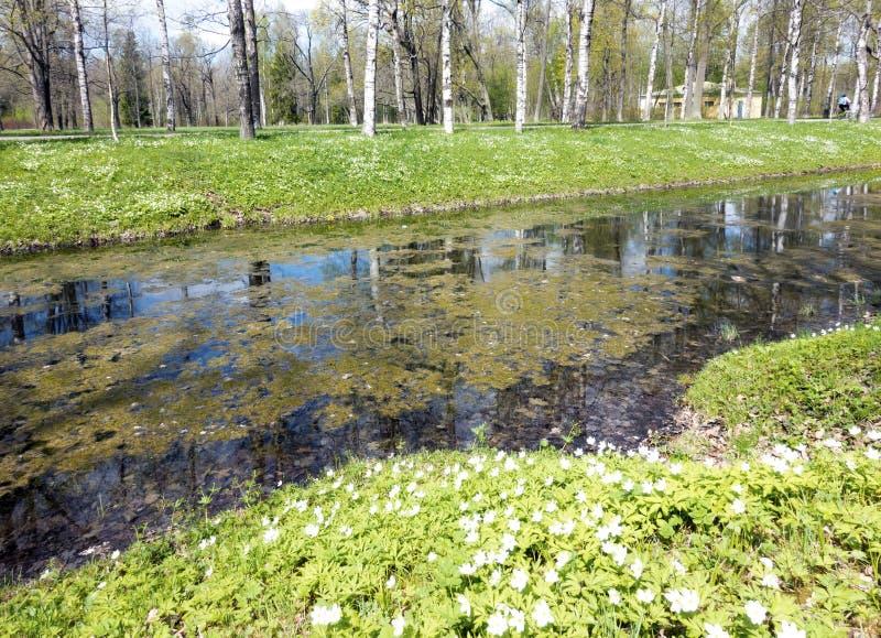 Rio pequeno com uma lentilha-d'água, um canal no parque, os vidoeiros na costa e os snowdrops de florescência foto de stock