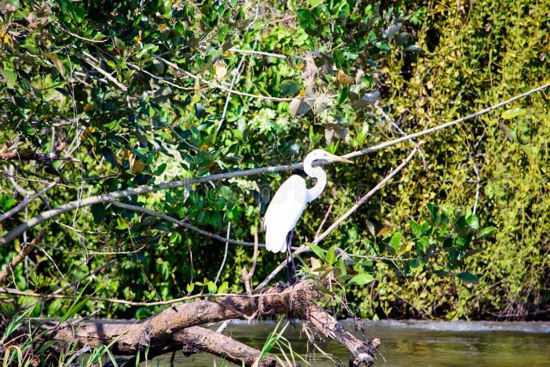 Rio San Juan Egret zdjęcia royalty free